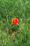 One red poppy in green grass Stock Image
