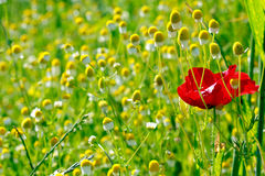 One red poppy and many chamomilles. Picture of a One red poppy and many chamomilles stock photos