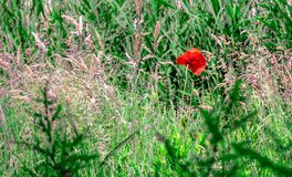 One red poppy between the other flowers stock photos
