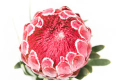 One red protea flower Royalty Free Stock Photography