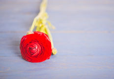 One red ranunculus Royalty Free Stock Photography