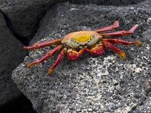 The red rock crab, Grapsus grapsus, is very abundant in the galapagos. Santa Cruz Island in Galapagos National Park, Equador. One  red rock crab, Grapsus grapsus Royalty Free Stock Image