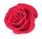 One red rose. Isolated on white background. Close-up Stock Photo