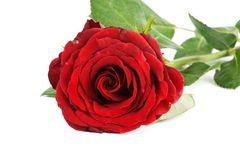 One red rose Royalty Free Stock Images