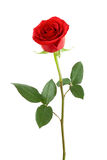 One red rose. Royalty Free Stock Photography