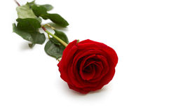 One red rose Stock Photography
