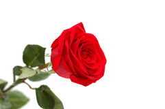 One red rose Stock Image