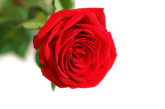 One red rose Stock Photos
