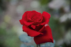 One red rose. Beautiful flower. Valentines Day. Love Stock Image