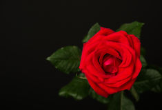 One red rose on black background Stock Image