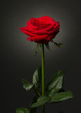 One red rose on black background Royalty Free Stock Photo