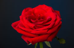 One red rose on black background Royalty Free Stock Image