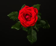 One red rose on black background Royalty Free Stock Photography