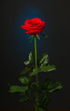 One red rose on black background Stock Images