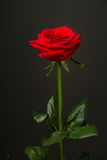 One red rose on black background Stock Photos