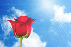 One red rose on blue-sky background Royalty Free Stock Image