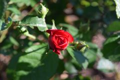 One red rose bud bloom. Centered Stock Photography