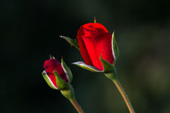 One red rose bud in the garden. Summer love  flower Royalty Free Stock Image