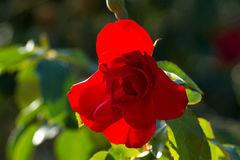 One red rose bud in the garden. Summer love  flower Stock Photos