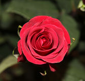 One red rose. On bush with green leafs Royalty Free Stock Photography