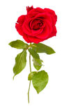 One red rose close up Royalty Free Stock Photos