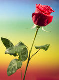 One red rose in colored background Stock Photography