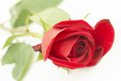 One red rose down on the table. One beautiful red rose is in horizontal position, the rosebud is close to the camera and every  rose petal is visible. this is Stock Image