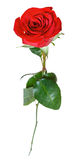 One red rose flower isolated on white Stock Photo