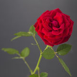 One red rose isolated on a gray background Stock Photography