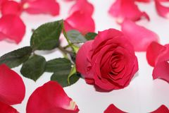 One red rose with a large opened bud stock photo