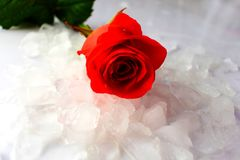 One red rose lies on the ice royalty free stock photography