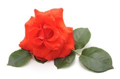 One red rose. One red rose on a white background Royalty Free Stock Photography