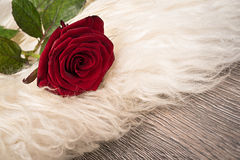 One red rose Royalty Free Stock Photos