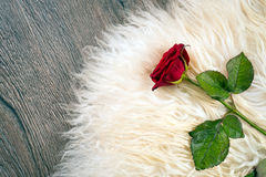 One red rose Royalty Free Stock Image