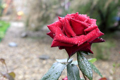 One red rose with water droplets. In the garden Royalty Free Stock Photo