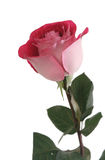 One red rose on a white background Stock Images