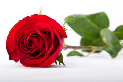 One red rose on a white paper. One red rose with stem  on white background Royalty Free Stock Photo