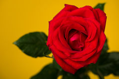 One red rose on yellow background Stock Photography