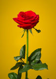 One red rose on yellow background Stock Photos