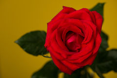 One red rose on yellow background Stock Image