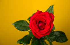 One red rose on yellow background Stock Photo