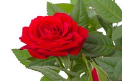 One red roses closeup Royalty Free Stock Photos