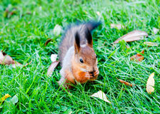 One red squirrel Royalty Free Stock Photography