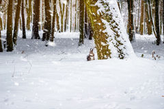 One red squirrel under tree, on white snow in park, snowfall, winter season. Royalty Free Stock Photos