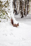 One red squirrel under tree, on white snow in park, snowfall, winter season. Royalty Free Stock Image