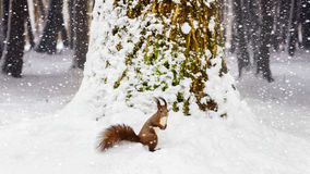 One red squirrel under tree, on white snow in park, snowfall, winter season. Stock Photography