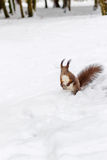 One red squirrel under tree, on white snow in park, snowfall, winter season. Stock Image