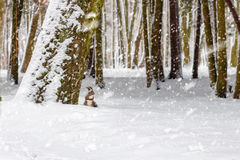 One red squirrel under tree, on white snow in park, snowfall, winter season. Stock Photos