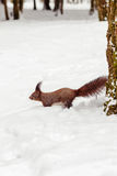 One red squirrel under tree, on white snow in park, snowfall, winter season. Stock Images