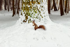 One red squirrel under tree, on white snow in park, winter season. Royalty Free Stock Photography